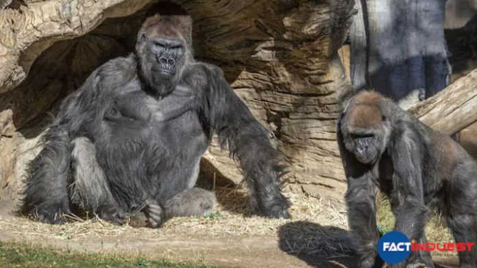 Gorillas test positive for coronavirus at San Diego park in the US